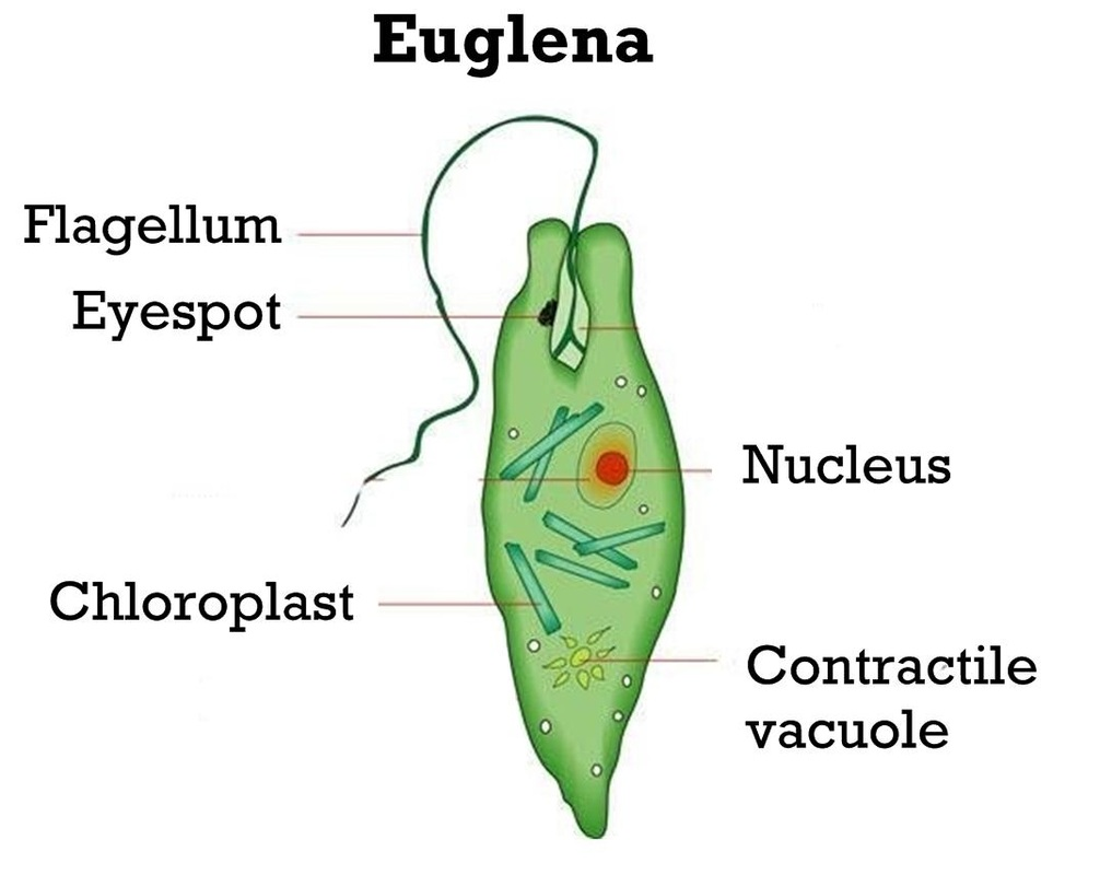 Unicellular Cell Diagram Picture