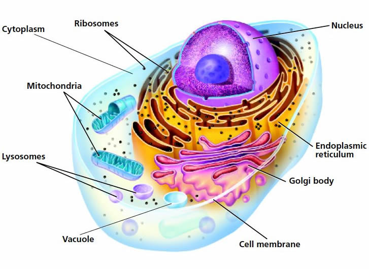 3d Animal Cell Diagram Labeled on of blood cell diagram free image about wiring
